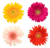 Beautiful daisy flowers. Lots of beautiful colorful daisy flowers on white Stock Image