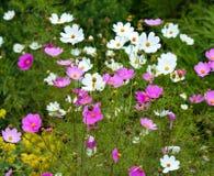Beautiful daisy flowers Royalty Free Stock Image