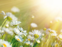 Beautiful daisy flowers bathed in sunlight. In meadow Royalty Free Stock Image