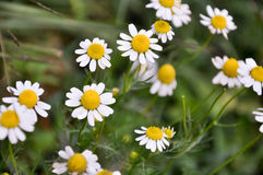 Beautiful Of Daisy Flowers. Blooming In The Garden Stock Photo