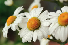 Beautiful Daisy Flowers Close-Up Royalty Free Stock Photos