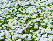 Beautiful daisy flowers field pattern. In the park Royalty Free Stock Photo