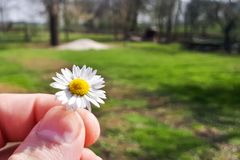 Beautiful daisy flowers in hand. Beautiful daisy flower on the hand royalty free stock images