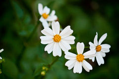 Beautiful daisy flowers Stock Photos