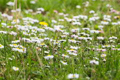 Beautiful daisy flowers Stock Image