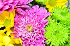 Beautiful daisy flowers in summer. Beautiful daisy flowers are colorful lots of brightly colored. growing with seed light and watering requirements and blooming Stock Photos