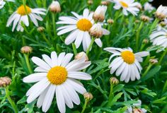 Beautiful daisy flowers with their white petals con the yellow eye at the garden on a green grass background. Close up of beautiful daisy flowers with their stock photography