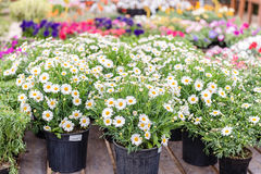 Beautiful daisy flowers in vases Royalty Free Stock Images
