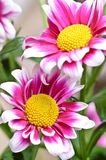 Beautiful daisy gerbera royalty free stock image