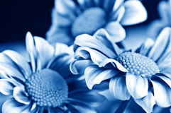 Beautiful daisy gerbera Stock Photo