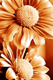 Beautiful daisy gerbera Stock Image
