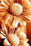 Beautiful daisy gerbera Stock Image