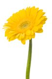 Beautiful daisy gerbera. Flower isolated on white background Stock Photos