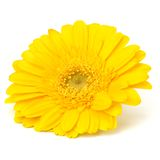 Beautiful daisy gerbera flower Stock Photography