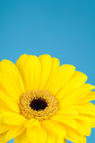Beautiful daisy gerbera flower Stock Photography