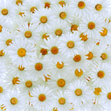 Beautiful daisy gerbera flower Stock Photos