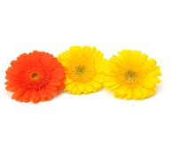 Beautiful daisy gerbera flowers Royalty Free Stock Image
