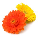 Beautiful daisy gerbera flowers Royalty Free Stock Photo
