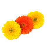 Beautiful daisy gerbera flowers Royalty Free Stock Images