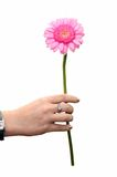 Beautiful daisy - giving flower Royalty Free Stock Photography