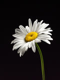 Beautiful Daisy isolated on a black background. Studio macro image of high resolution. The painting Style of Dutch artists stock images