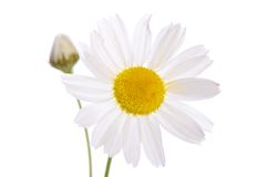 The beautiful daisy isolated on white Royalty Free Stock Photo