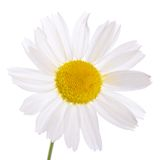 The beautiful daisy isolated on white Stock Photo