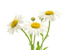 Beautiful daisy isolated on white background Royalty Free Stock Image