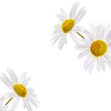 The beautiful daisy isolated on white Stock Image