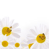 The beautiful daisy isolated on white Stock Photography