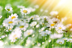 Beautiful daisy in meadow Royalty Free Stock Image