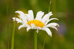 Beautiful daisy on a natural background Royalty Free Stock Photos