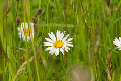 Beautiful daisy on a natural background Royalty Free Stock Images