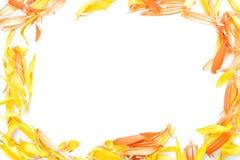 Beautiful daisy petals Royalty Free Stock Photography