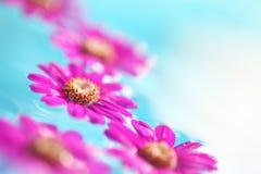 Beautiful daisy petals on the float Stock Photos