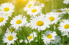 Beautiful daisy Stock Image