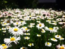 Beautiful daisy. In the summer field yellow Stock Photography