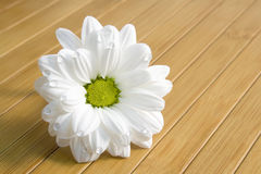 Beautiful daisy with water drops. Beautiful white daisy flower with water drops Stock Images