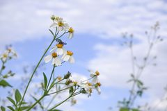 Daisy white flower bloom in nature against blue sky background royalty free stock image