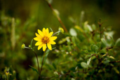 Beautiful Daisy. Wild yellow daisy in the rocky mountains of Colorado Stock Images