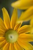 beautiful daisy yellow Стоковое Изображение