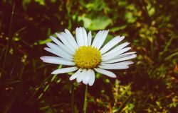 Beautiful daisy Royalty Free Stock Photo