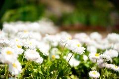 Beautiful daisys Stock Image