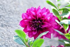 Beautiful dalhia flower wallpaper stock image