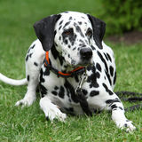 Beautiful dalmatian lying