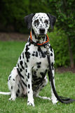 Beautiful dalmatian bitch sitting and looking at you Stock Image