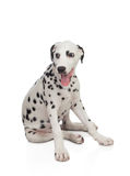 Beautiful Dalmatian with black spotted Stock Images
