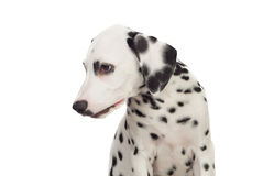 Beautiful Dalmatian with black spotted Royalty Free Stock Photos