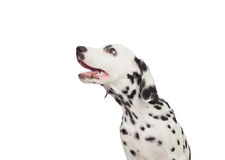 Beautiful Dalmatian with black spotted Stock Photo