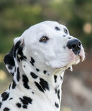 Beautiful dalmatian Royalty Free Stock Images